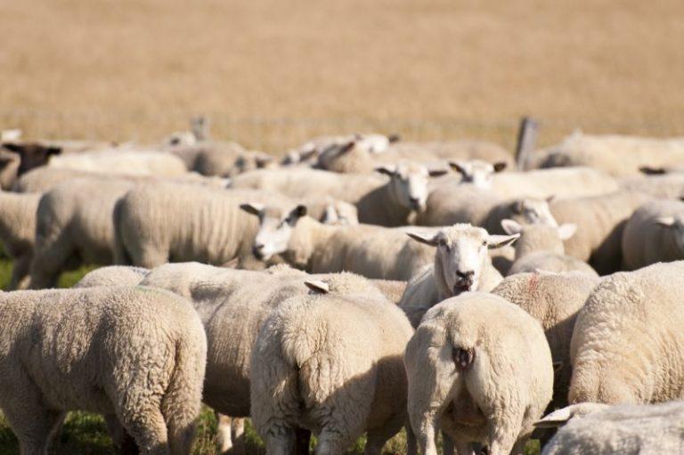 Die Vorteile von Schafe